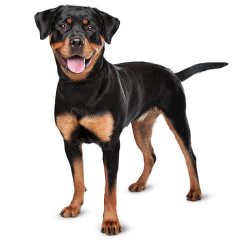 Rottweiler - breed information and advice