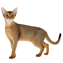 Abyssinian - breed information and advice