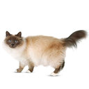 Birman - breed information and advice