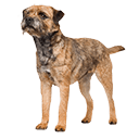 Border Terrier - breed information and advice