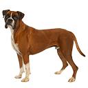 Boxer - breed information and advice