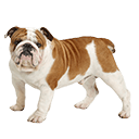 Bulldog - breed information and advice