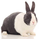 Dutch Rabbit - breed information and advice