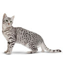 Egyptian Mau - breed information and advice