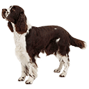 English Springer Spaniel  - breed information and advice