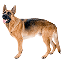 German Shepherd  - breed information and advice