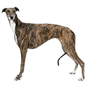Greyhounds - breed information and advice