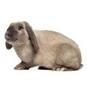 Holland Lop - breed information and advice