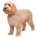 Labradoodle  - breed information and advice