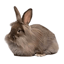 Lionhead Rabbit - breed information and advice