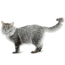 Maine Coon - breed information and advice