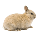 Netherland Dwarf - breed information and advice