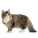 Norwegian Forest - breed information and advice