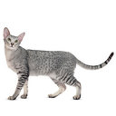 Oriental Shorthair - breed information and advice