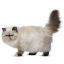 Persian - breed information and advice