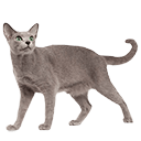 The Russian Blue - breed information and advice
