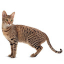 Savannah Cat - breed information and advice