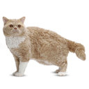 Selkirk Rex Cat - breed information and advice