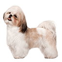 Shih-Tzu - breed information and advice