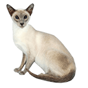 Siamese Cat - breed information and advice