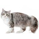 Siberian Cat - breed information and advice