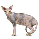 Sphynx Cat - breed information and advice