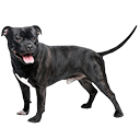 Staffordshire Bull Terrier - breed information and advice