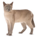 Tonkinese Cat - breed information and advice