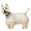 West Highland White Terrier - breed information and advice