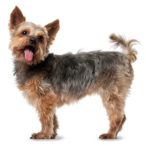 Yorkshire Terrier Health Facts By Petplan Petplan