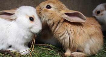 Rabbit ear mites & infections: symptoms & treatment | Petplan